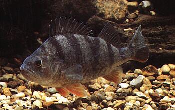 Fischlexikon for Lebensraum fische